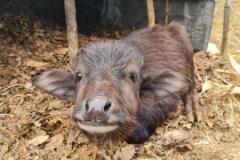 Wasserbüffel-Baby